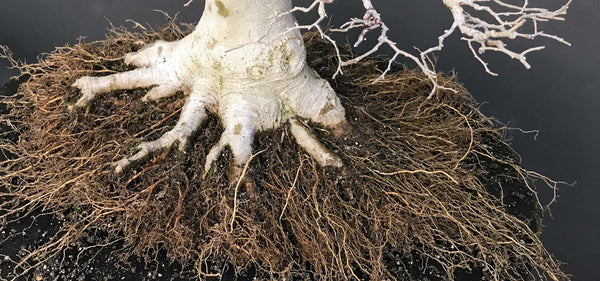 Some comments on bonsai tree root work