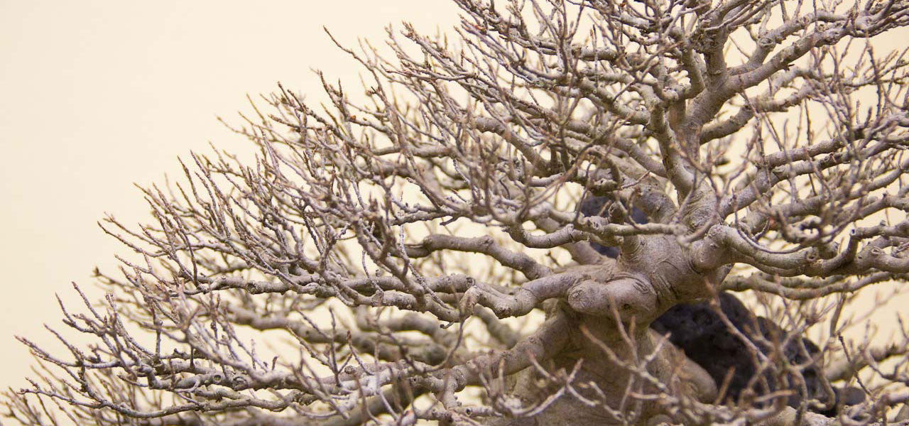 Root over Rock Chinese Maple: A critical analysis
