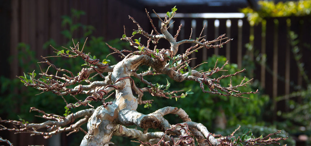 Makeover of a Chinese Elm - Continued