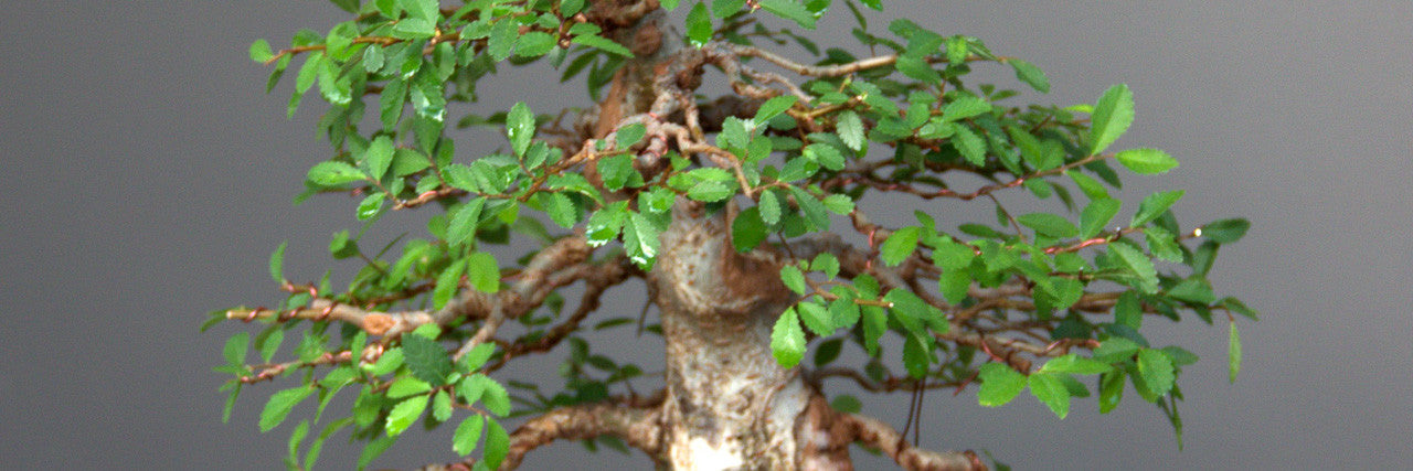 Field grown chinese elm bonsai tree