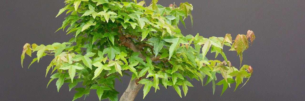 chinese maple bonsai defoliation