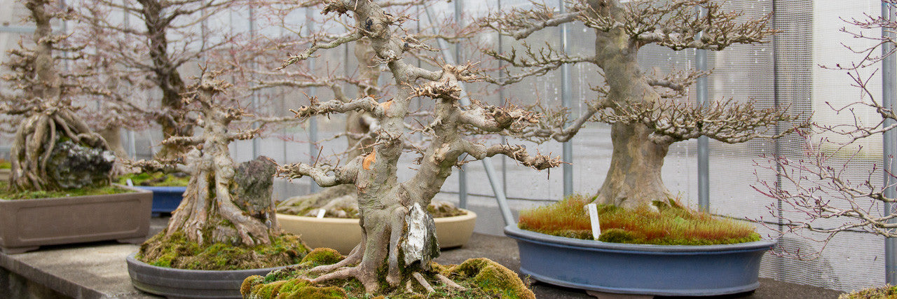 Chinese maple bonsai trees
