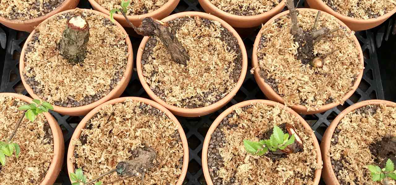 Cork Bark Elm Cuttings The Easy Way Bonsai Tree Pty Ltd