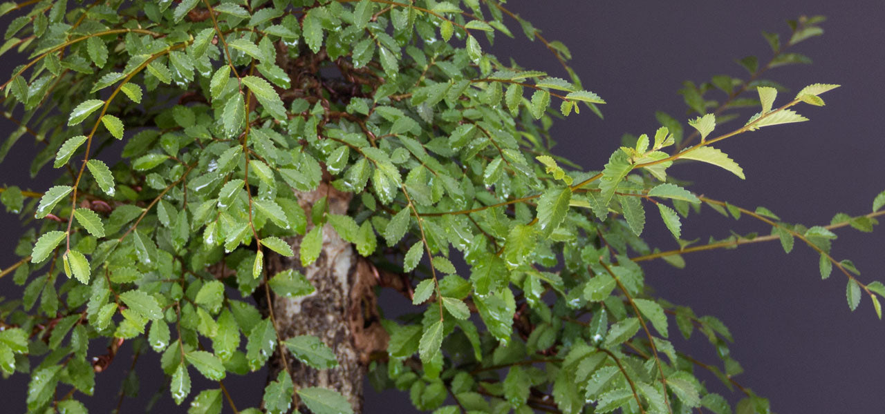 English elm bonsai development