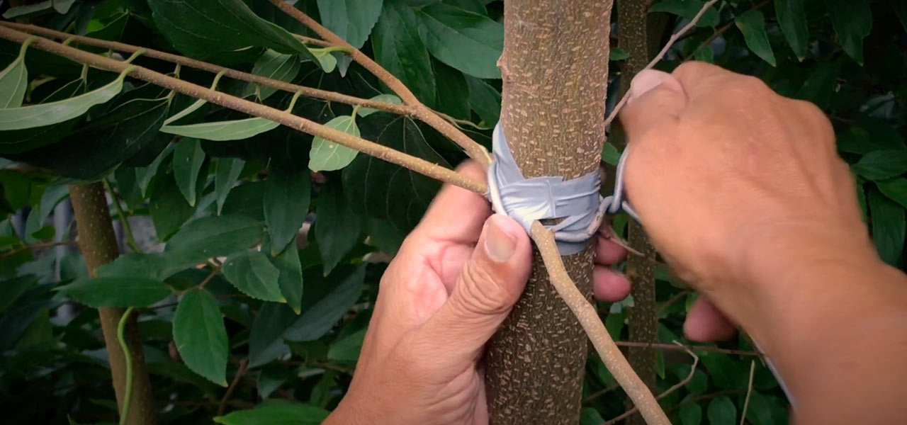 hackberry celtis sinensis grafting bonsai