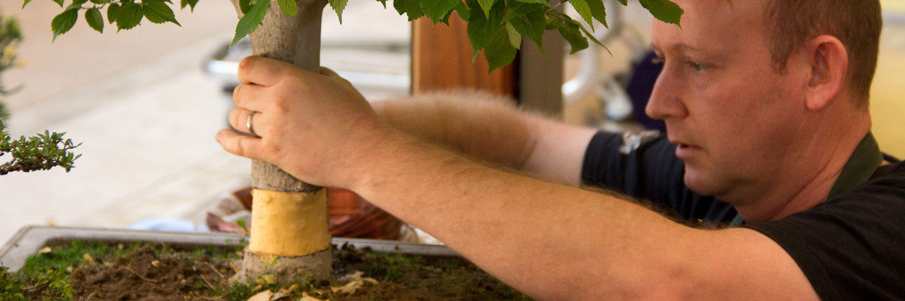 hackberry bonsai tree layering