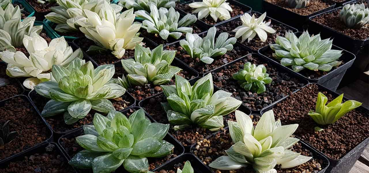 haworthia basics care harry lewis