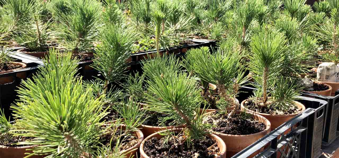 Two Needle Pines from Seed: Early Years