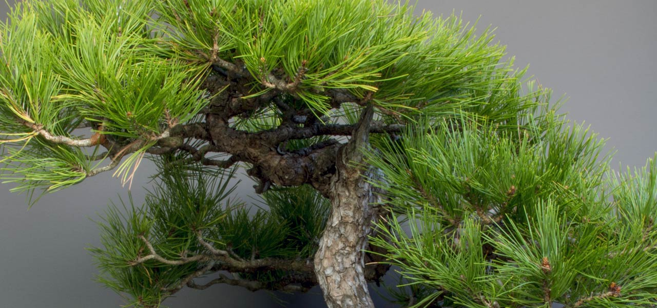 Japanese red pine bonsai tree