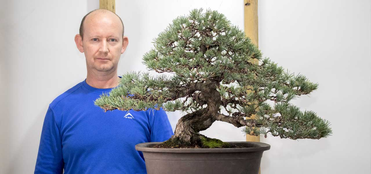 japanese white pine bonsai styling