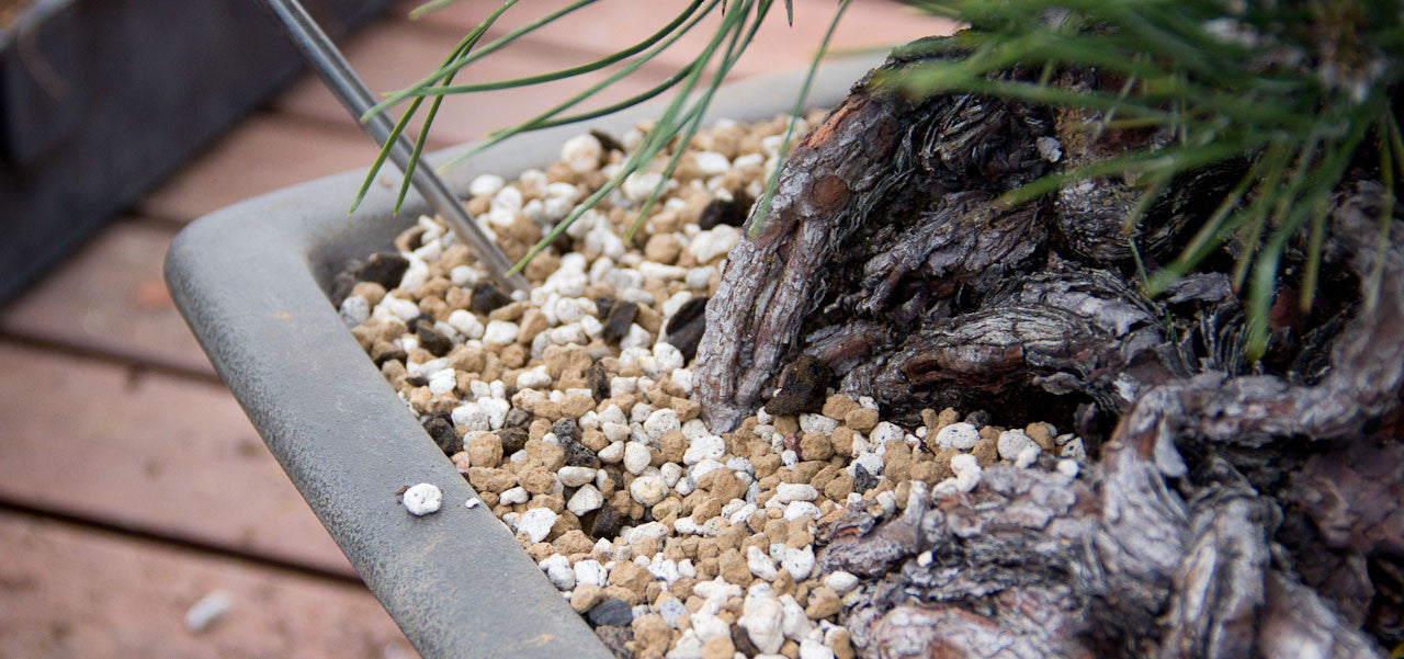 Japanese black pine repotting akadama and pumice