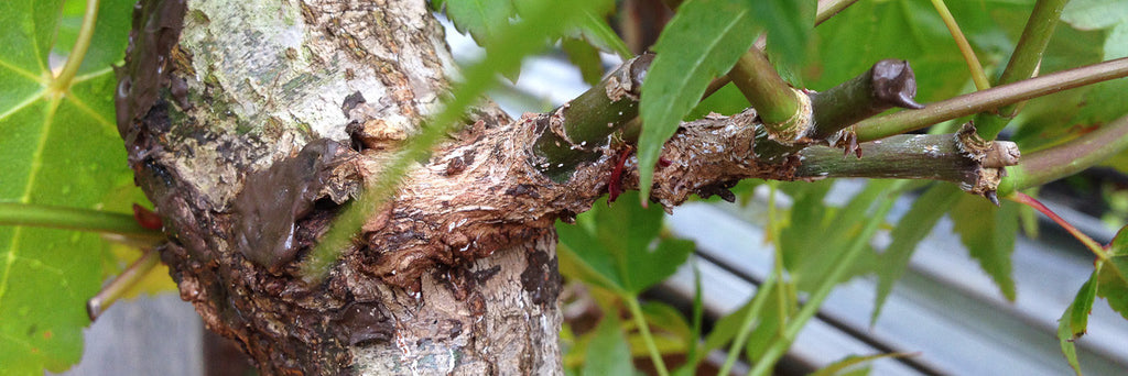 Approach Grafting on a Japanese Maple