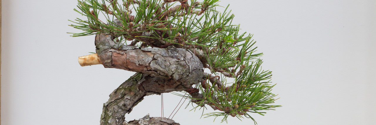 japanese red pine bonsai trees