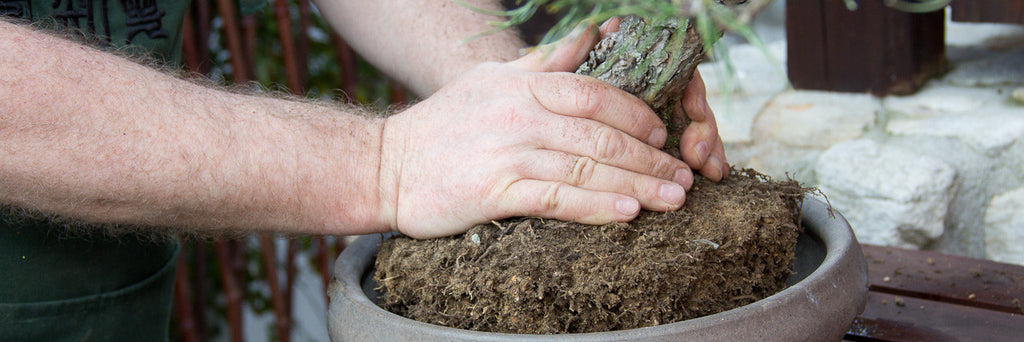 Repotting a Japanese Red Pine