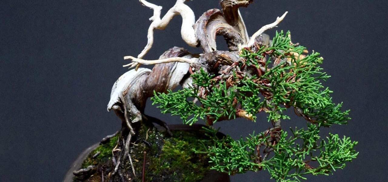 juniper bonsai compaction