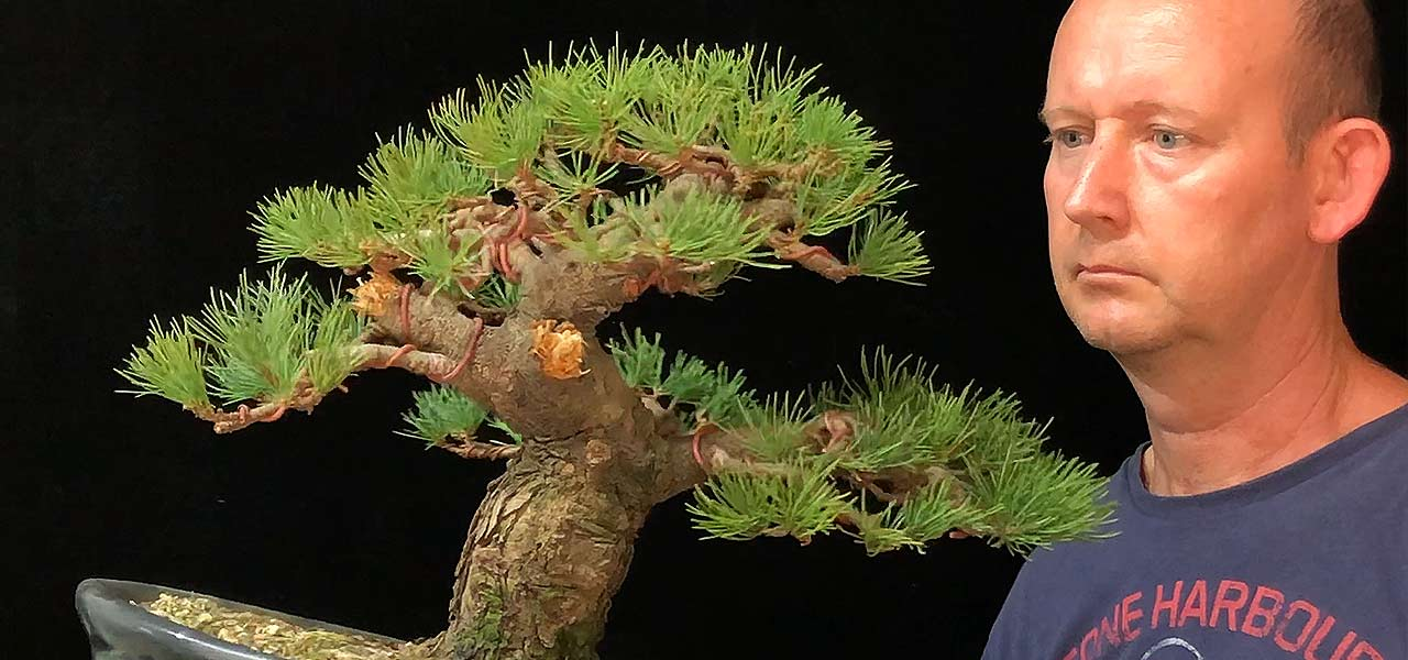 japanese white pine goyomatsu bonsai