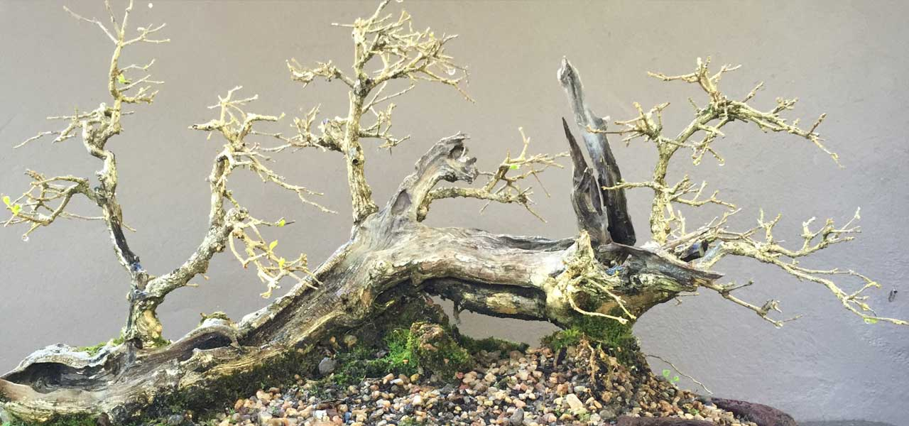 premna bonsai trees gary howes