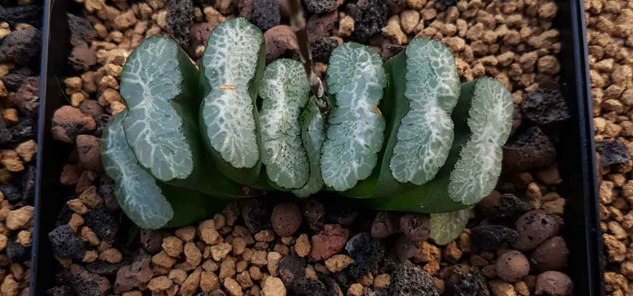harry lewis propagation haworthia succulents