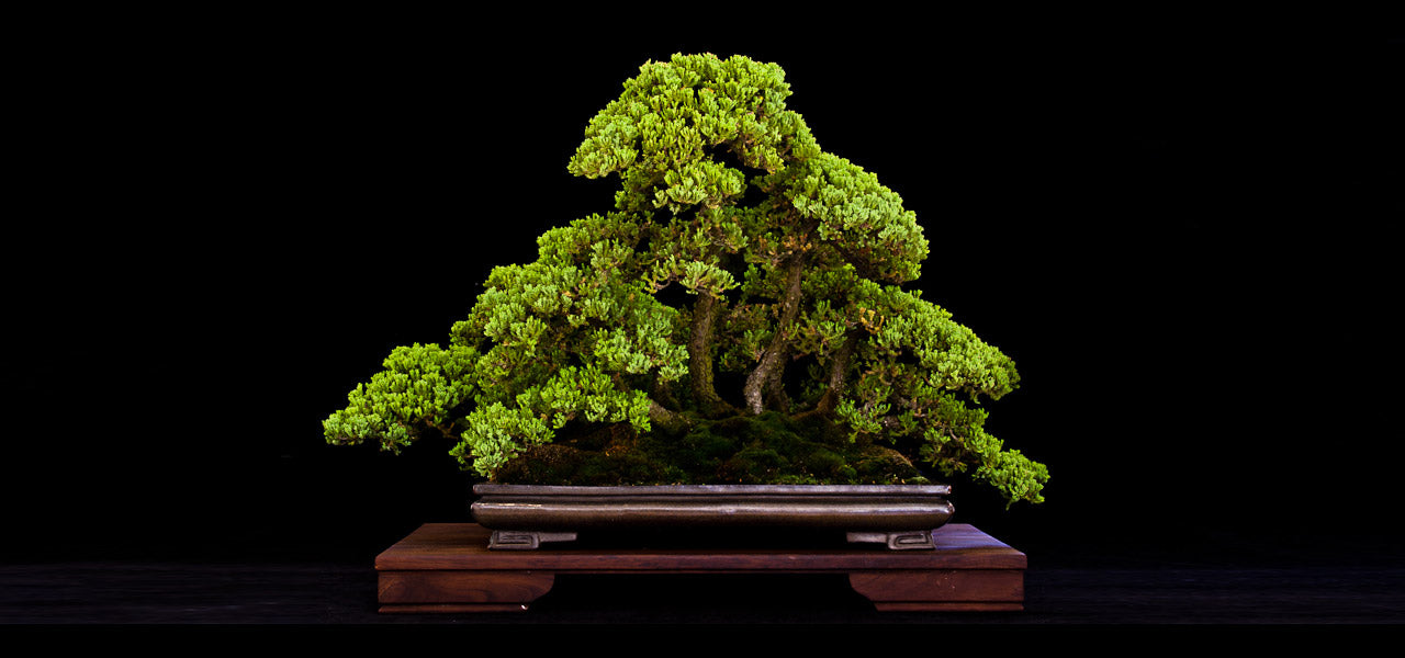 rudi adam bonsai juniper forest