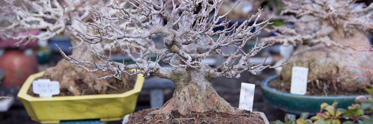 Shohin bonsai trees kojuen