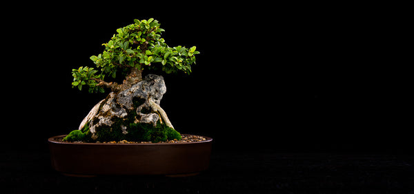 South African Bonsai Artists