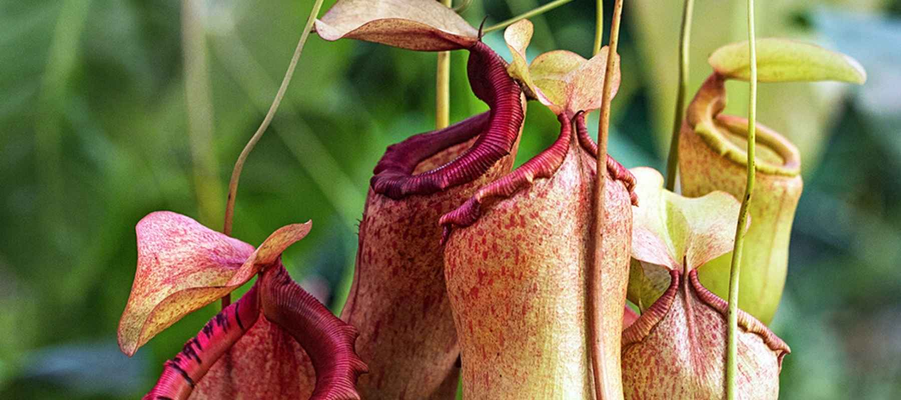 nepenthes tropical pitcher plant