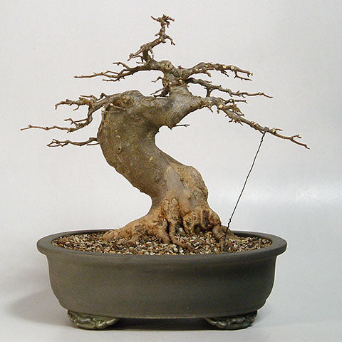 Chinese maple bonsai primary branch structure