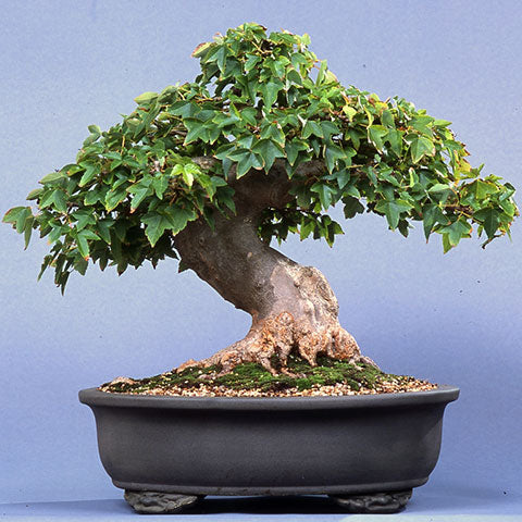 Chinese maple Toen bonsai container