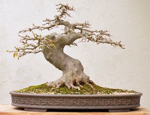 Chinese maple bonsai