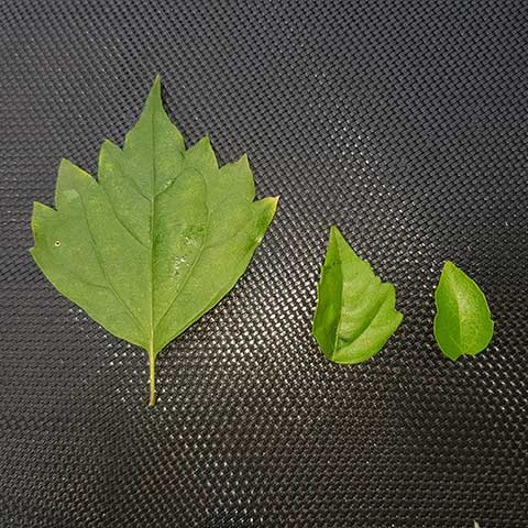 premna leaf shapes