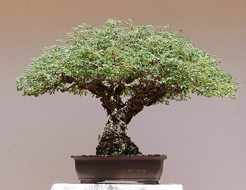 My first Acacia bonsai tree - Bonsai Tree (Pty) Ltd