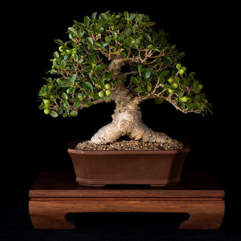 hennie nel ficus burtt dayvi bonsai tree