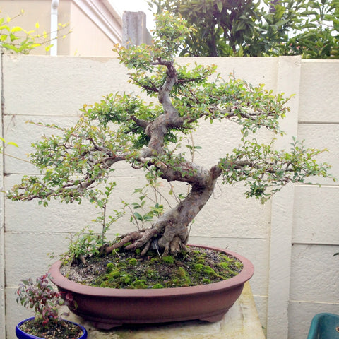Chinese elm bonsai tree makeover