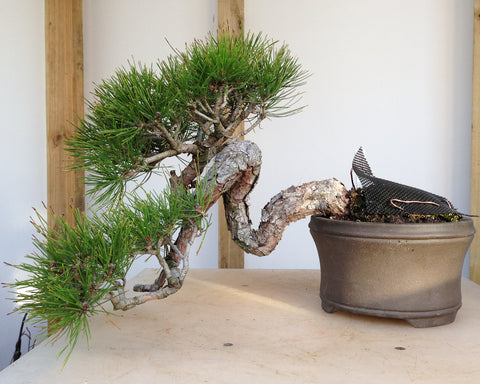 Before And After Japanese Red Pine Bonsai Tree Pty Ltd