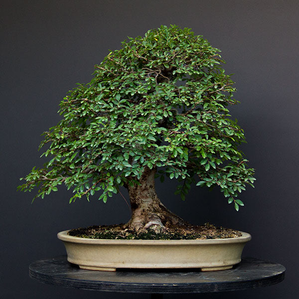 Development Of An English Elm Bonsai Bonsai Tree Pty Ltd