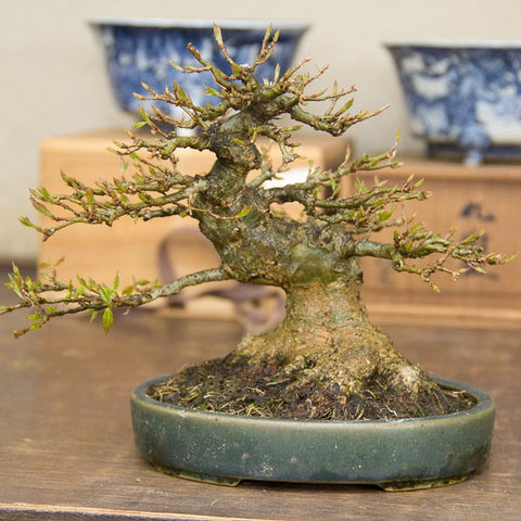Chinese maples Yorozuen