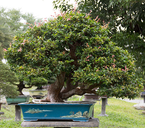 brush cherry bonsai trees