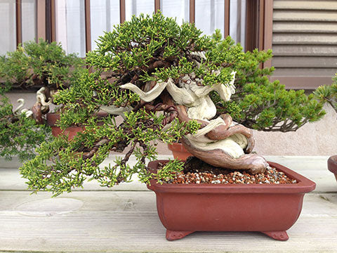 Koji Hiramatsu juniper bonsai