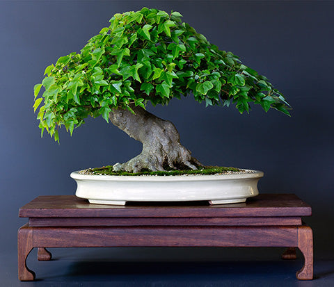 Carl Morrow Chinese Maple Award