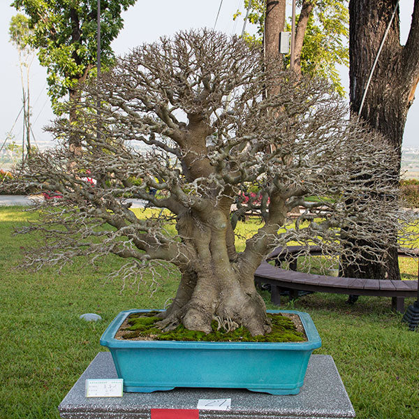 Celtis bonsai taiwan