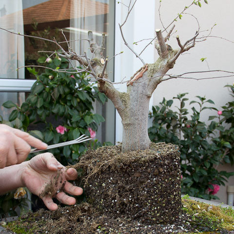 Hackberry bonsai raking out the roots