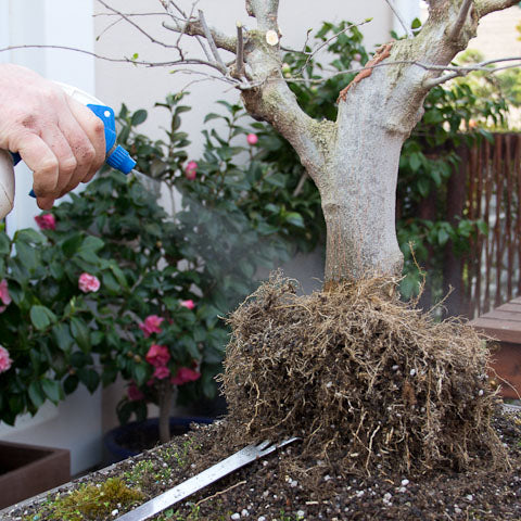 Keeping the root ball moist on a hackberry bonsai layering