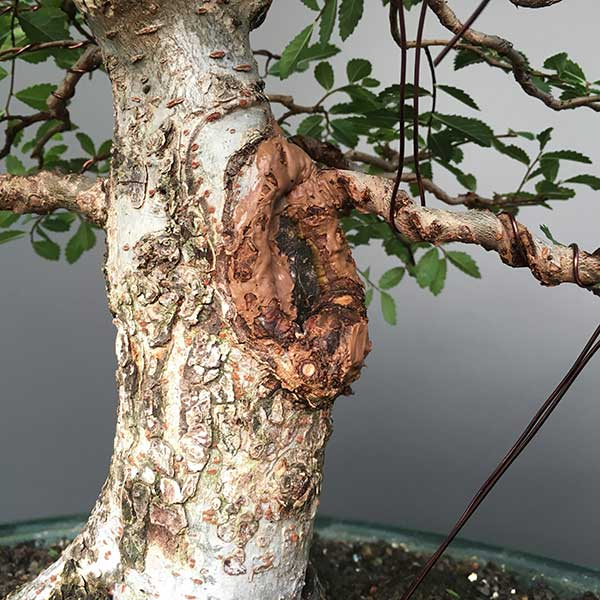 Chinese elm scarring