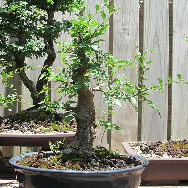 Potted Chinese elm