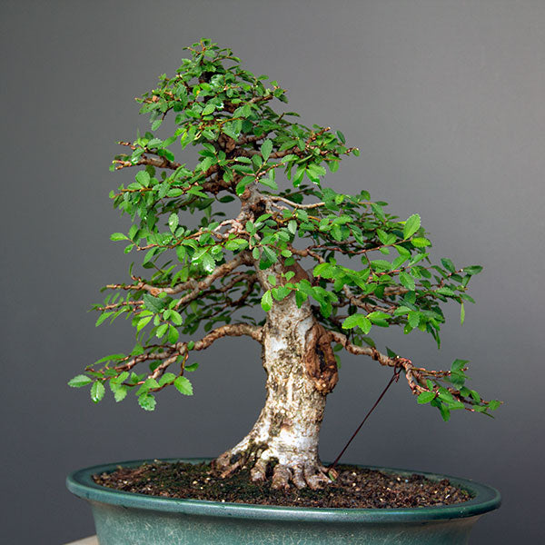Chinese elm complete