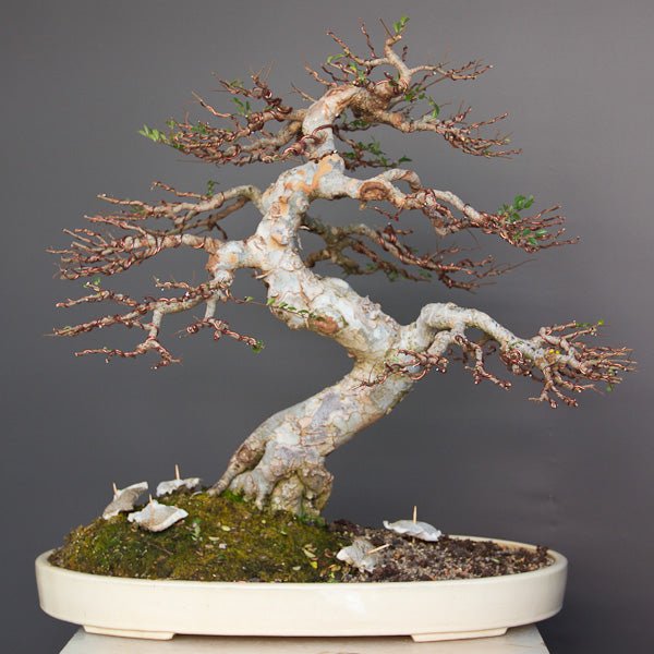 makeover of a chinese elm continued bonsai tree pty ltd rh bonsaitree co za  chinese elm bonsai tree wiring