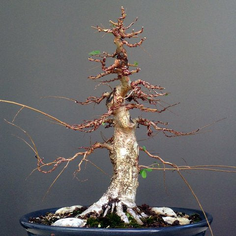 Progression of a Field Grown Chinese Elm bonsai
