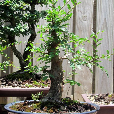 Progression of a field grown elm bonsai tree