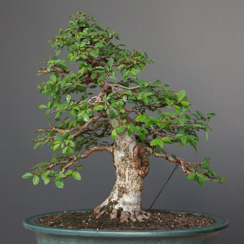 Progression of an elm bonsai