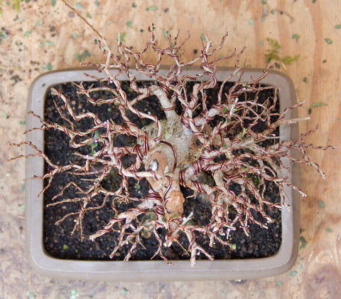 Top view of Chinese elm bonsai styling